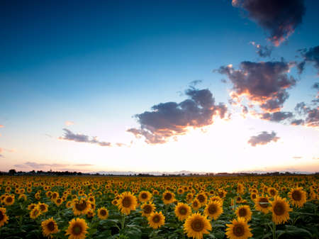 Sunflower field with the Longs Peak, Colorado view on forground  at sunset. Stock Photo - 10233849