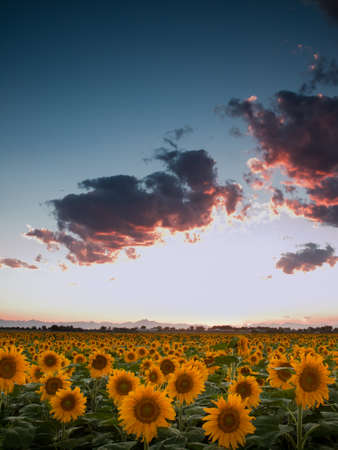 Sunflower field with the Longs Peak, Colorado view on forground  at sunset. Stock Photo - 10252085