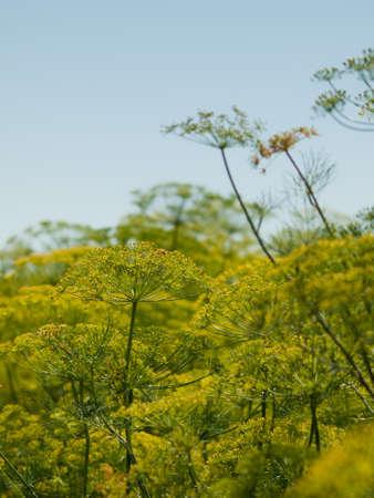 finer: Esta hierba se asemeja a un helecho con hojas que son suaves, como super finas pelos m�s fino, m�s delicado. Eneldo obtiene fuertes reacciones: algunos describen el sabor como limpia y cubierta de hierba, mientras que otros no gustan de ser �cida y terroso. Y a pesar de esta hierba Foto de archivo