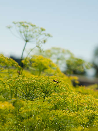 dislike it: This herb resembles a finer, more delicate fern with leaves that are soft, like super fine hairs. Dill elicits strong reactions: Some describe the flavor as clean and grassy, while others dislike it for being tangy and earthy. And even though this herb is Stock Photo