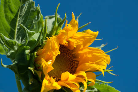 Close up of sunflower in bloom. Stock Photo - 10264187