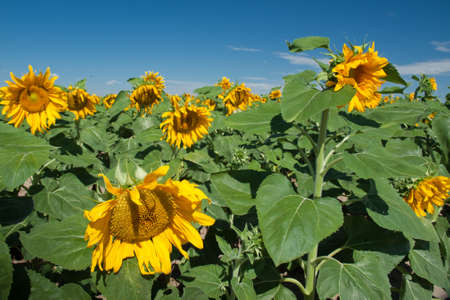 Sunflower field in Colorado. Stock Photo - 10264202