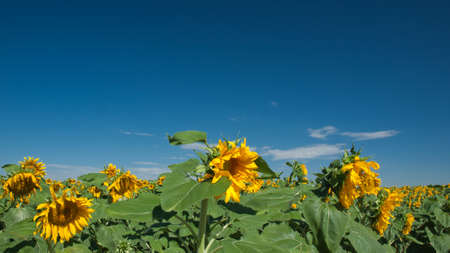 Sunflower field in Colorado. Stock Photo - 10264186