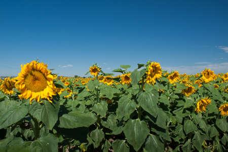 Sunflower field in Colorado. Stock Photo - 10264193