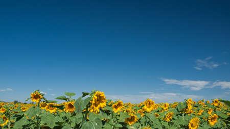 Sunflower field in Colorado. Stock Photo - 10264185