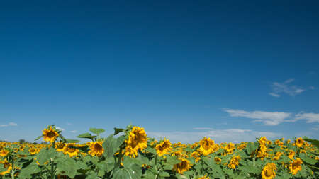 Sunflower field in Colorado. Stock Photo - 10264185
