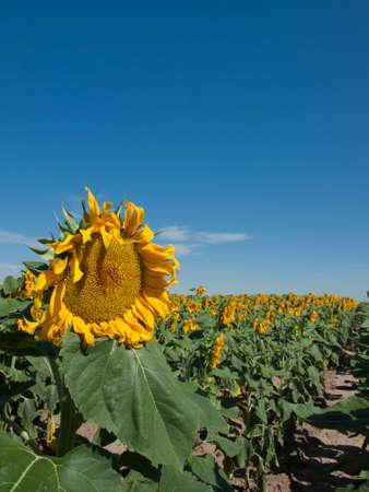 Sunflower field in Colorado. Stock Photo - 10264196