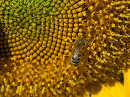 Close up of sunflower in bloom. Stock Photo - 10264194