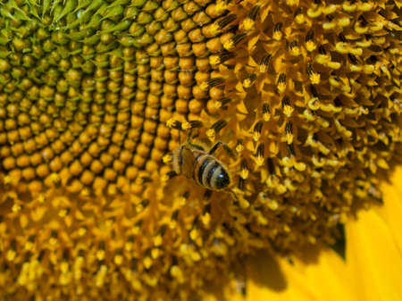 Close up of sunflower in bloom. Stock Photo - 10264191