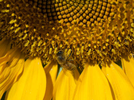 Close up of sunflower in bloom. Stock Photo - 10264198