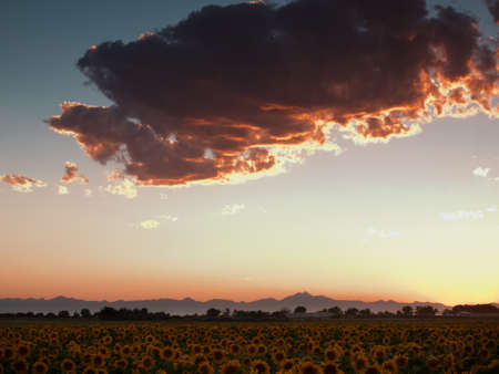 Sunflower field with the Longs Peak, Colorado view on forground  at sunset.