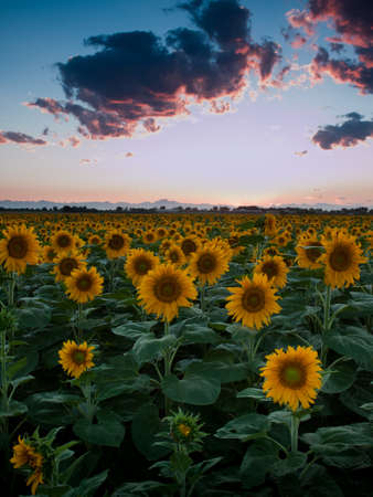 Sunflower field with the Longs Peak, Colorado view on forground  at sunset. Stock Photo - 10303446