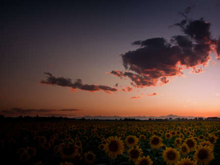 Sunflower field with the Longs Peak, Colorado view on forground  at sunset. Stock Photo - 10303444