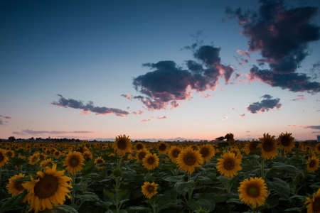 Sunflower field with the Longs Peak, Colorado view on forground  at sunset. Stock Photo - 10303445