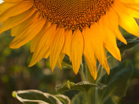 Close up of sunflower in bloom. photo