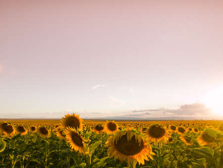 Sunflower field at sunset in Colorado. photo
