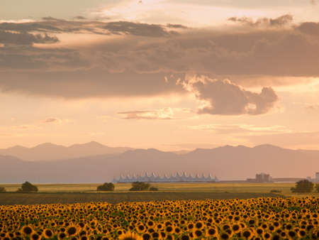 Sunflower field with Denver International Airport in the background. Stock Photo - 10318915