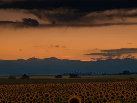 Sunflower field with Denver International Airport in the background. Stock Photo - 10318880