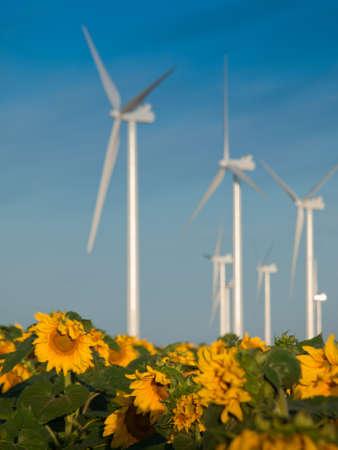 Wind turbines over a beautiful sunflowers field in Limon, Colorado. photo