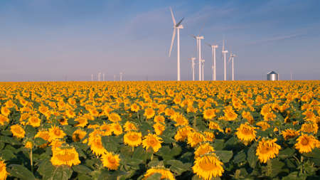 Wind turbines over a beautiful sunflowers field in Limon, Colorado. Stock Photo - 10366232