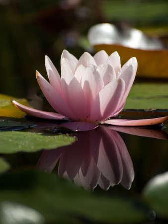 スイレンの池に開花。ロバータの丈夫なピンクのスイレン。かなり、星形、セミダブル花、鮮やかな黄色い中心と濃い緑の葉、この丈夫なピンクの睡蓮が日によって開閉夜、スプレッドで咲くと