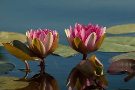 brightest: L'acqua Nymphaea 'Sirius' Lily. Chiamato per la stella pi� luminosa nel cielo, questo giglio oustanding � all'altezza del suo nome con la produzione di grandi fiori rosso-porpora a profusione. Le foglie sono punteggiate bordeaux prima di maturare per tutto verde. Ibridato da Latour-Nur Marliac Archivio Fotografico