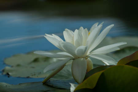 viviparous: Innocence water lily. Innocence is a strongly viviparous white lily with heavily mottled leaves. Most important is the uniquely large, pure white flower that stands high above the water on an extremely robust stalk