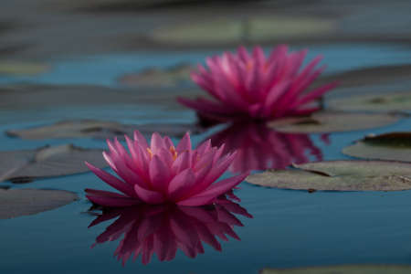 l natural: Nymphaea George L. Thomas water lily. The bright, almost fluorescent magenta of the flowers make this lily an eye opener. Dedicated to four men named George L Thomas, all of whom enriched Lilypons Water Gardens with their contributions. For best resul Stock Photo