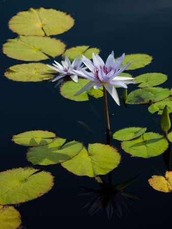 """lirio de agua: Lirio de agua en flor en el estanque. Lily N. Bill Frase """"el agua."""