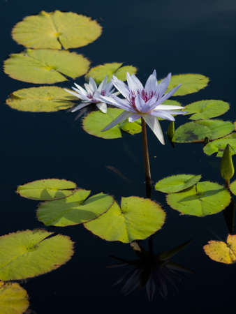 Water lily blossoming in the pond. N. 'Bill Frase' water lily. Stock Photo - 10497351