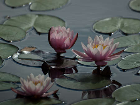 hardy: Water lily blossoming in the pond. Robertas  Hardy Pink Water Lily. With sizeable, star-shaped, semi-double flowers, vibrant yellow centers, and dark green leaves, this hardy pink water lily opens by day and closes at night, as it spreads and blooms with