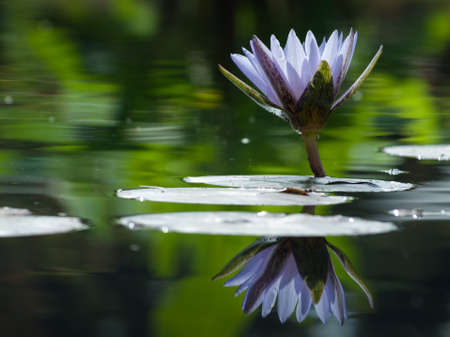 with reflection: Water lily blossoming in the pond. N. Bill Frase water lily.
