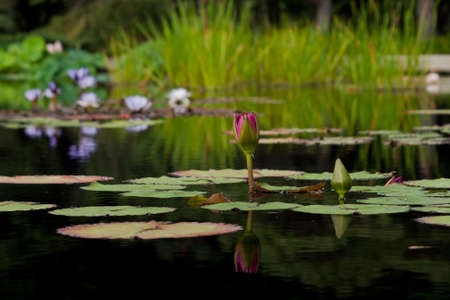 Charlies Pride Waterlily, Nymphaea Charlies Pride  water lily. Charlies Pride Waterlily: Nymphaea Charlies Pride was hybridized in Australia by Charles Winch 1993. One of the reddest tropical lilies available on the market today this flower will sta