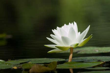 lirio blanco: Lily Gladstoniana 'Nymphaea agua. Este hermoso gran lirio blanco sigue siendo un favorito desde hace mucho tiempo. Con una fragancia ligera y de gran rizoma Marliac, este lirio es muy adecuado para la siembra en los estanques de tierra inferior. Hibridado en 1897 por George Richardson, mientras que Foto de archivo
