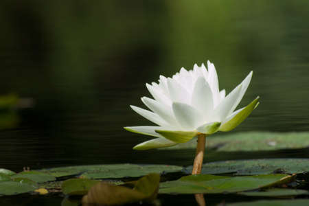 floating on water: Nymphaea Gladstoniana water lily. This beautiful large white lily remains a long-time favorite. With a slight fragrance and large Marliac rhizome, this lily is well-suited to planting in earth-bottom ponds. Hybridized in 1897 by George Richardson while