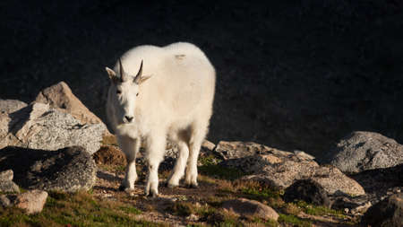 mount evans: Mountian goat with kid on top of Mount Evans. Colorado.