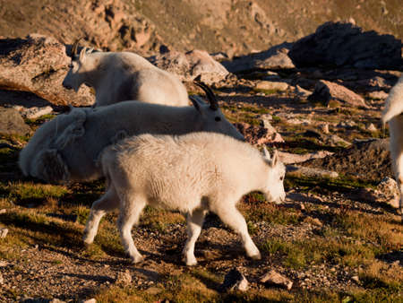 Mountian goat with kid on top of Mount Evans. Colorado. Stock Photo - 10633829