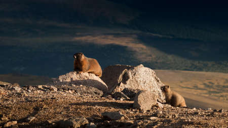 mount evans: Yellow-bellied marmot on the Mount Evans, Colorado.