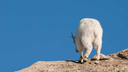 Mountian goats on top of Mount Evans. Colorado. Stock Photo - 10657277