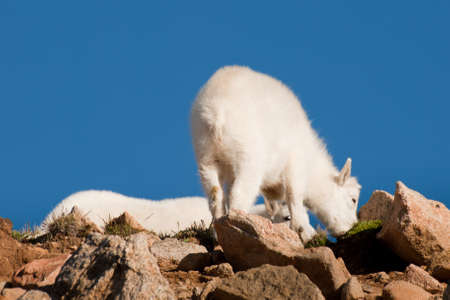 mount evans: Mountian goats on top of Mount Evans. Colorado.