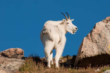 mount evans: Mountian goats on top of Mount Evans. Colorado.