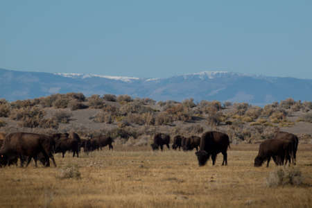 Buffalo herd on Zapata Ranch, Colorado. The high desert grasslands, alpine forests, wetlands, sand dunes, creeks and lush meadows offer one of the most scenic and ecologically diverse landscapes for bison ranch. Stock Photo - 11097789