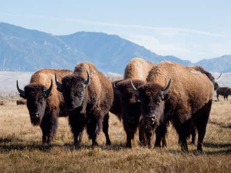 Buffalo herd on Zapata Ranch, Colorado.