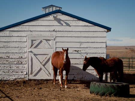 Horse near the white barn. photo