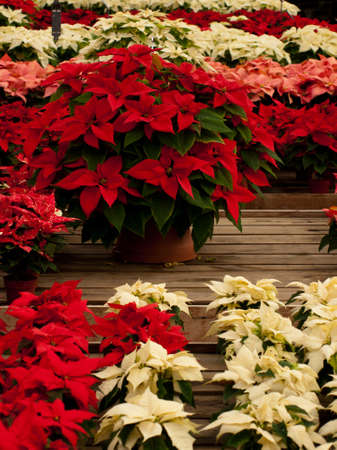 Rows of red and white poinsettia plants being grown at a Colorado nursery in preparation for the holiday season. photo