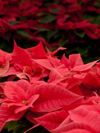 Rows of red poinsettia plants being grown at a Colorado nursery in preparation for the holiday season. Banco de Imagens