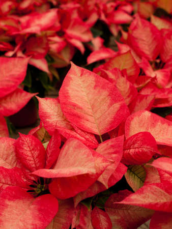 Rows of red poinsettia plants being grown at a Colorado nursery in preparation for the holiday season. Stok Fotoğraf