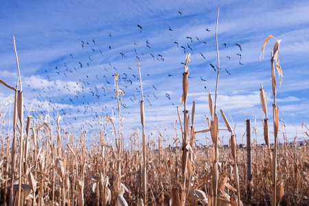 Crows flying above a corn field in autumn.