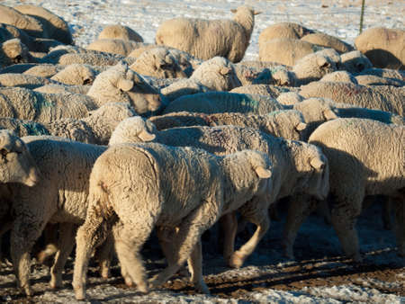 Herd of sheep on the road. photo