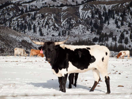 Texas longhorn on the farm in Silverthorne, Colorado. photo